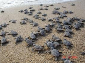 baby-turtles