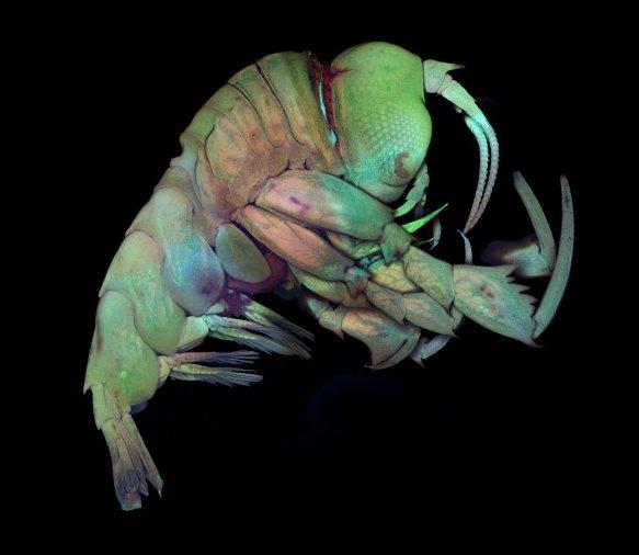 deep-sea-crustacean