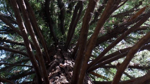 videoblocks-massive-ponderosa-pine-tree-slow-dolly-shot-looking-straight-up-the-trunk-upper-branches-in-focus_sv-cj1ine_thumbnail-full01