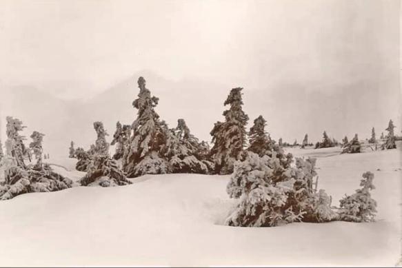 snow-pines