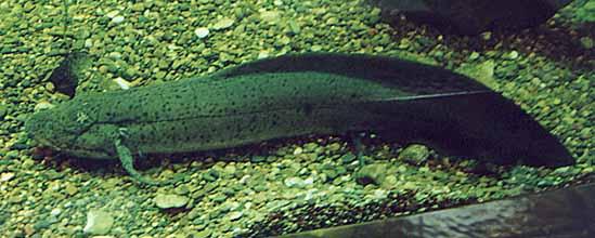 lungfish1sm