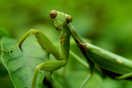 praying-mantis2