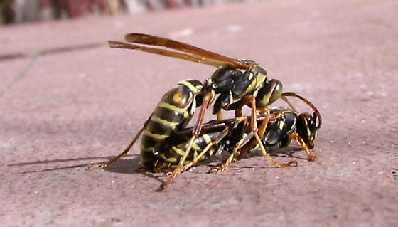 Wasps-mating